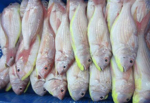 Japanese Threadbream Fish (1)