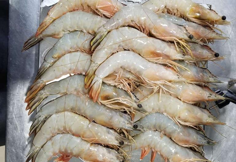 whiteshrimp1